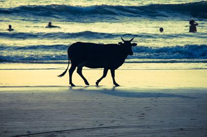 Vaca caminando por la playa en Goa